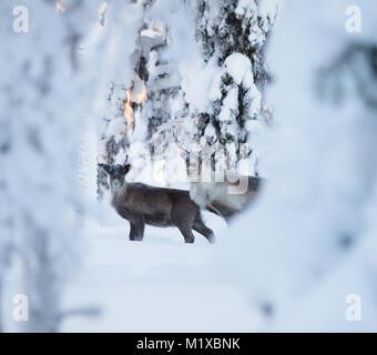 Rennes dans une forêt enneigée de l'Arctique Banque D'Images