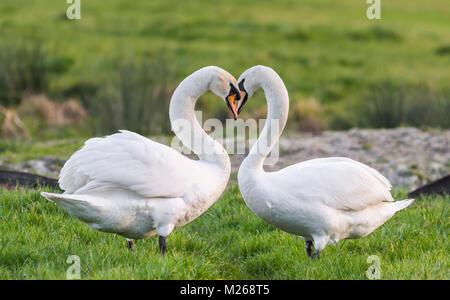 Blanc Paire de cygnes tuberculés (Cygnus olor) debout face à face dans un champ avec le cou en forme de coeur d'amour, Banque D'Images