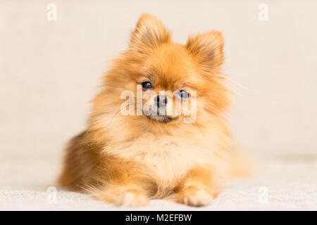 Chien miniature de race de chien Pomeranian se trouve sur le canapé Banque D'Images