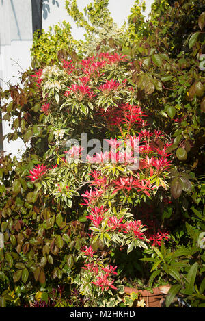 Pieris japonica 'Flaming Silver' grandi comme un petit arbre en pot sur un petit patio jardin dans le Wiltshire Banque D'Images