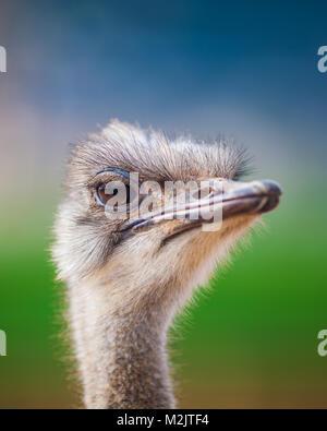 Portrait d'une autruche, Close up