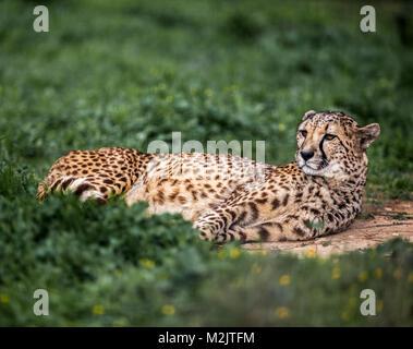 Beau guépard sauvage reposant sur des champs verts, Close up Banque D'Images