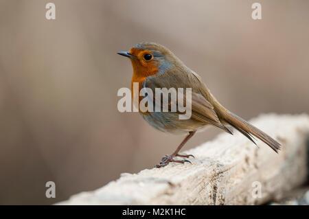 Robin (Erithacus rubecula aux abords), adulte, perché sur une clôture en bois de fer à l'Yorkshire Wildlife Trust's Banque D'Images