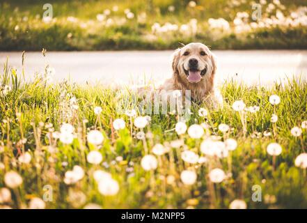 Golden retriever dog à profiter du soleil Banque D'Images