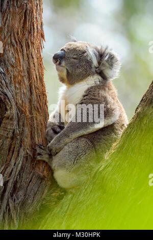 Koala Phascolarctos cinereus, assis, en arbre, Victoria, Australie Banque D'Images