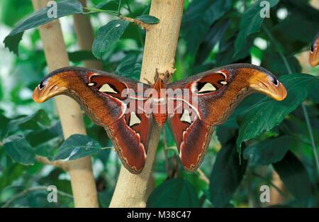 Le Vietnam. Près de Son La. papillon. Atlas moth (Attacus atlas). Banque D'Images