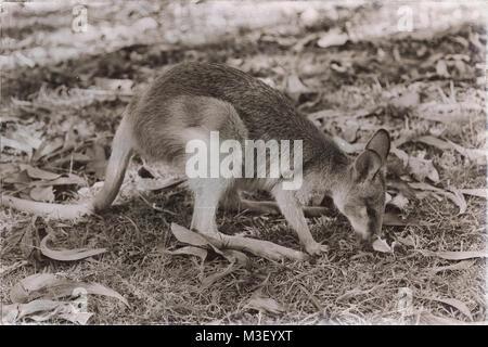 En australie natuarl park close up du kangourou près de Bush Banque D'Images