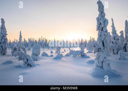 Enneigé des forêts du nord de la Finlande Banque D'Images
