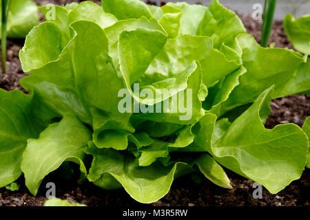 Salade verte, laitue Banque D'Images