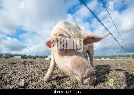 Heureux cochon sur une ferme biologique au Royaume-Uni Banque D'Images