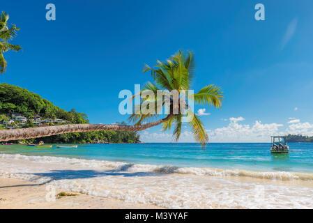 Arbre généalogique de cocotiers sur la plage de sable Banque D'Images