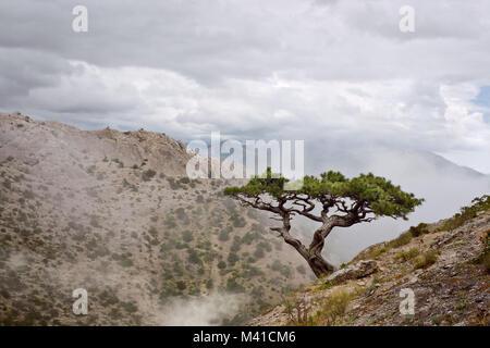 Lone Juniper sur une colline dans le brouillard Banque D'Images