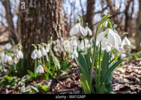 Perce-neige dans la forêt printemps matin lumineux Banque D'Images