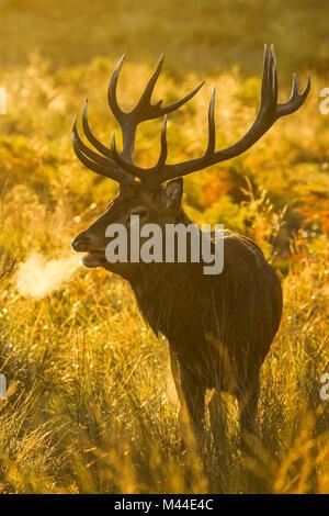 Red Deer (Cervus elaphus). Stag beuglant au lever du soleil pendant le rut, Richmond Park, Londres, Angleterre Banque D'Images