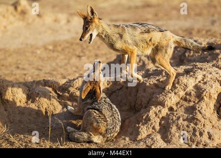 Le Chacal à dos noir (Canis mesomelas). Deux adultes de jouer. Désert du Kalahari, Kgalagadi Transfrontier Park, Banque D'Images