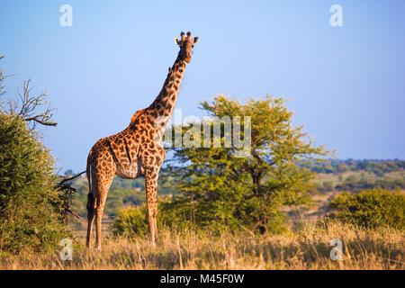 Girafe sur la savane. Safari dans le Serengeti, Tanzanie, Afrique du Sud Banque D'Images