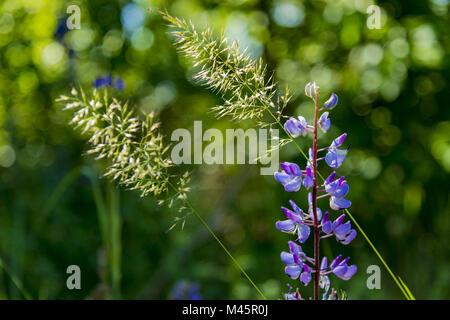 Lupin et brins d'herbe dans la lumière du soleil contre