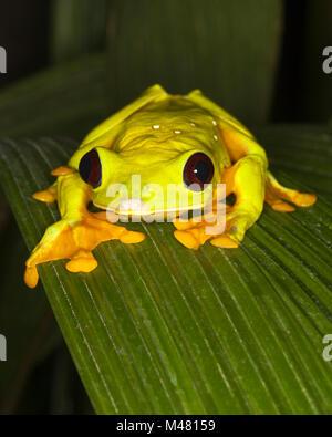 Planeur Treefrog, également connu sous le nom de Flying Leaf Frog ou Spurrell's Leaf Frog (Agalychnis sparelli) Banque D'Images