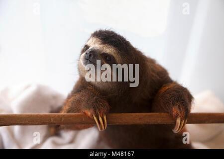 Baby brown-throated trois-toed sloth (Bradypus variegatus) pendant la lecture du temps dans une pépinière à sloth Banque D'Images