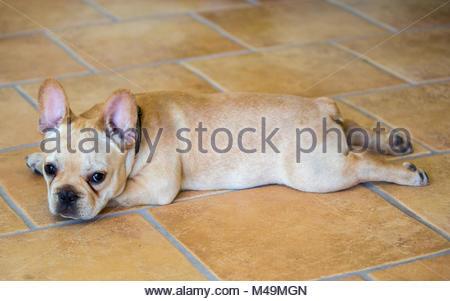 Bouledogue français chiot - Canis lupus familiaris Banque D'Images