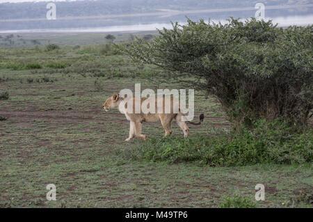 Lionne femme marche dans les herbes sèches près des rives du lac Manyara, dans le parc national du nord de la Tanzanie Banque D'Images