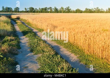 L'herbe envahi par la voie entre les oreilles sur le terrain. Les pointes d'or parmi les arbres sous le ciel Banque D'Images