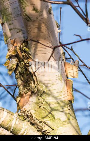 Décollement de l'écorce d'un tronc d'arbre en hiver. Banque D'Images