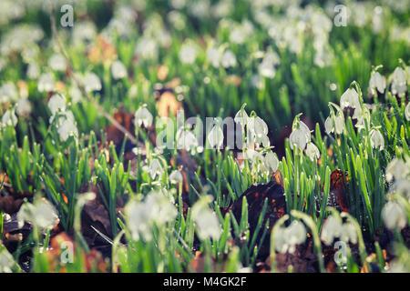 Perce-neige en fleurs fleurs dans la lumière du soleil du matin Banque D'Images