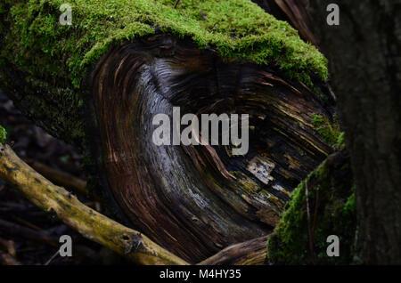 Couvert de mousse humide deadwood Fallen Tree Stump UK Banque D'Images