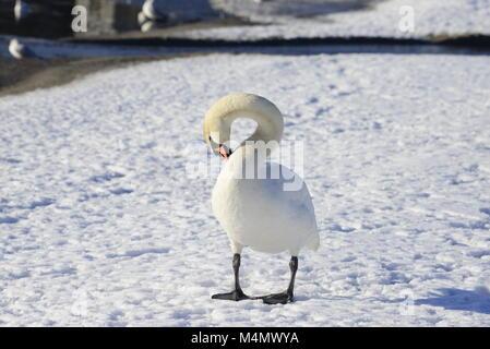 Cygne muet dans la neige Banque D'Images