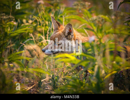 Red Fox camouflé dans le pré Banque D'Images