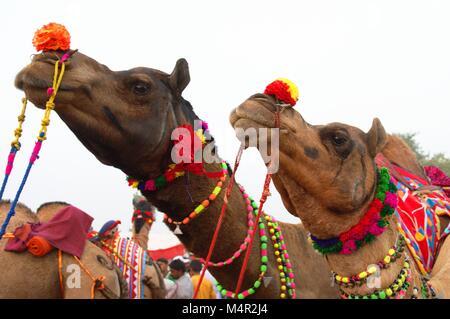 Deux chameaux décorés pour Pushkar camel annuel juste. Ce salon est plus grande foire de chameaux, qui a lieu chaque Banque D'Images