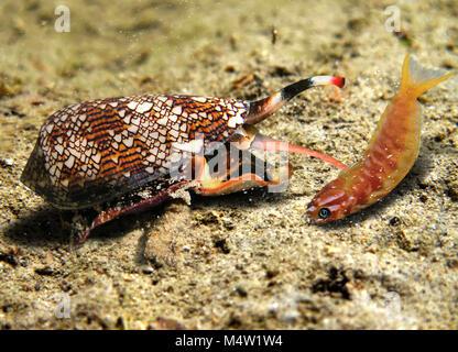 Conus Textile, Conus textile, chasse un poisson (blennies, Ecsenius Midas Midas). Comme toutes les espèces du genre Banque D'Images