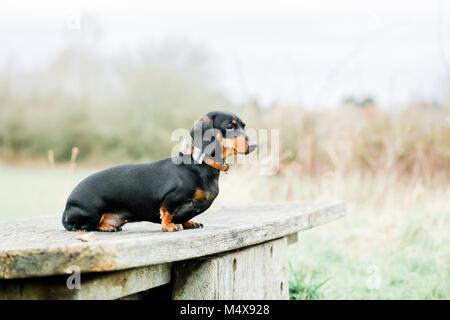 Teckel miniature sur un chien marcher dans la campagne, Oxfordshire, UK