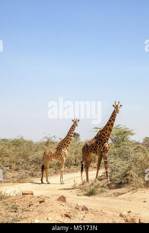 Deux girafes à un chemin de terre dans la savane africaine Banque D'Images