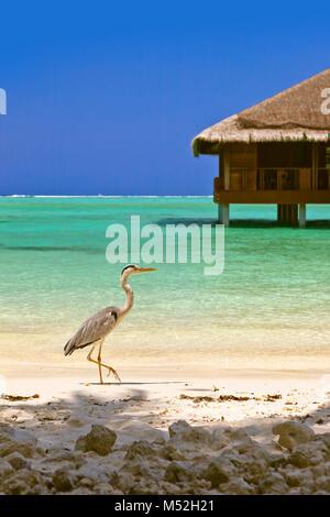 Le Heron Maldives beach Banque D'Images