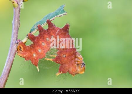 Espèce impériale sur caterpillar Chêne à Reed Exécuter Préserver, Lancaster Conservancy, comté de Lancaster, Pennsylvanie, l'été.