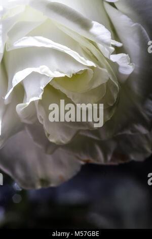 Rose, fleur, macro, line, coudes, belle, contrastant, romantique, saint valentin, amour, coloré, couleur, texture, Banque D'Images