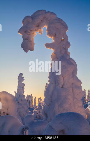 L'épinette de neige en Finlande