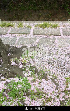 Fleurs de sakura tombé sur le chemin de philosophe à Kyoto, au Japon. Banque D'Images