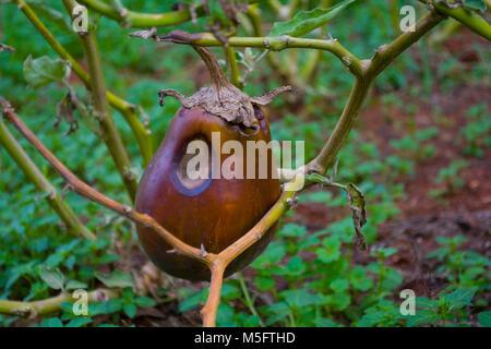 Une blessure l'aubergine Banque D'Images