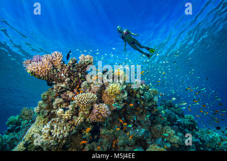 L'Egypte, Mer Rouge, Hurghada, young woman snorkeling à coral reef Banque D'Images