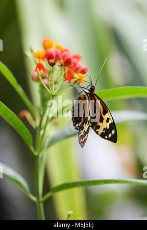 Papillon monarque, Danaus plexippus, sur blossom Banque D'Images