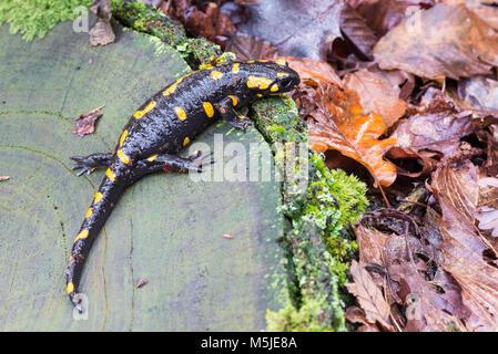 Salamandra Salamandra salamandre terrestre ou. Close up d'une salamandre jaune et noir dans son habitat naturel Banque D'Images