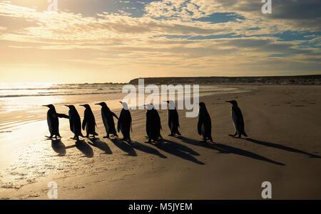 Groupe de manchots royaux (Aptenodytes patagonicus) marcher vers l'océan sur une plage de sable fin au lever du soleil, îles Falkland.