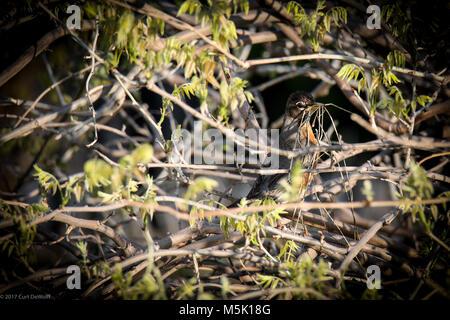 Image haute résolution d'oiseau (Robin) assis sur une branche dans un buisson avec de la paille dans son bec pour Banque D'Images