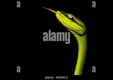 La serpent de vigne (Oxybelis brevirostris) est un colubridé inoffensif serpent d'Amérique du Sud.