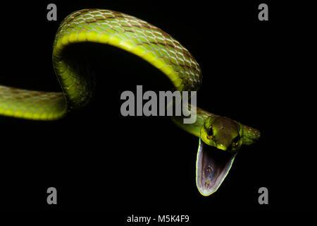 Composer un serpent de vigne (Oxybelis brevirostris) tente d'être aussi effrayant que possible afin d'effrayer les prédateurs.