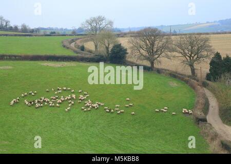 Troupeau de moutons paître sur les terres agricoles de l'est du Devon Région d'une beauté naturelle Banque D'Images