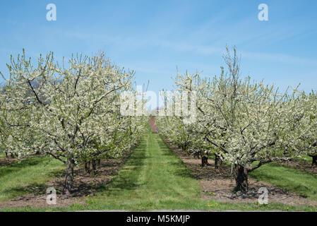 Les arbres fruitiers en fleurs dans un verger à Niagara on the Lake Banque D'Images